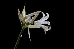 Nerine bowdenii Stock Photos