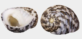 Two views of a seashell `Nerita Chamaeleon` on white background isolatedn. `Neritidae`, common name the `nerites`, is a taxonomic family of small- to medium Stock Photos