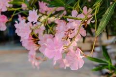 Nerium, олеандр, сладостный олеандр, розовый залив Стоковое Фото
