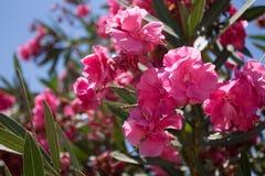Nerium flower Stock Image