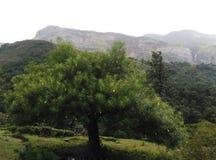 Nerium oleander Fotografia Stock