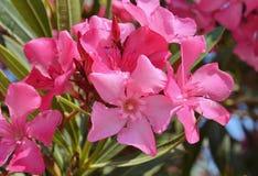 Nerium oleander Fotografie Stock