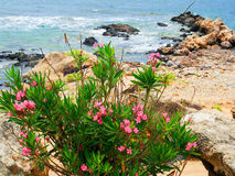 Nerium oleander Fotografia Stock Libera da Diritti