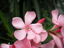 Nerium oleander Obraz Stock