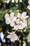 Nerium oleander Zdjęcie Stock