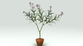 Nerium oleander Obrazy Stock