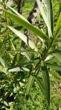 Nerium oleander Immagine Stock