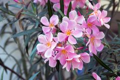 Nerium oleander in bloom, pink flowers. Nerium oleander in bloom, cool pink flowers on ornamental tropical shrub Royalty Free Stock Photos