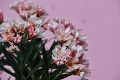 Nerium oleander in bloom stock images