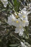 Nerium oleander in bloom, white siplicity bunch of flowers and green leaves on branches. Sunlight Stock Photo