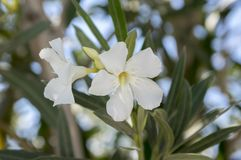Nerium oleander in bloom, white siplicity flowers and green leaves against blue sky. Detail Stock Photo