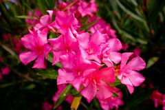 Nerium oleander blooming in red royalty free stock photography