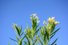 Nerium oleander In the Blue Sky Royalty Free Stock Image