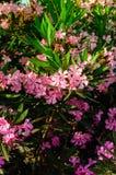 Nerium-Oleander-Blumen Stockfotos
