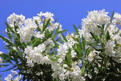 Nerium oleander. Bush with white oleander flowers close-up royalty free stock images