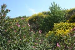 Nerium oleander. Nerium oleander and Cytisus scoparius in Crete Royalty Free Stock Images