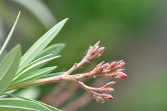 Nerium oleander flower buds. Oleander flower buds with blurry background Stock Photography