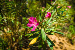 Nerium oleander Stock Photos