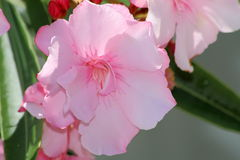 Nerium oleander Stock Photo