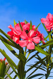 Nerium oleander flowers Stock Photos