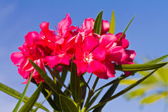 Nerium oleander flowers Royalty Free Stock Images