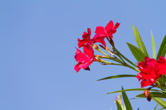 Nerium oleander flowers against blue sky Royalty Free Stock Photos