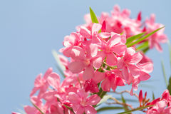 Nerium oleander flowers against blue sky Royalty Free Stock Photography