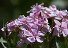 Nerium oleander flowers Stock Photo