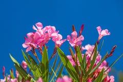 Nerium oleander flowers. Royalty Free Stock Photo
