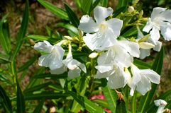 Nerium oleander flowers Stock Photography