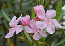 Nerium oleander flowers Royalty Free Stock Photos