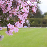 Nerium oleander flowers. Oleander shrub, pink rose flowers with leaves. (Nerium oleander L Royalty Free Stock Photo