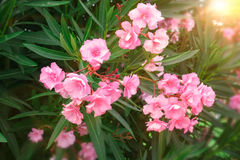 Nerium oleander flowers. Stock Photography
