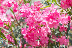 Nerium oleander flowers Stock Photo