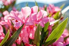 Nerium oleander in Grecia Fotografia Stock