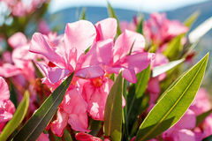 Nerium oleander in Greece Stock Photo