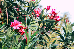 Nerium oleander Stock Image