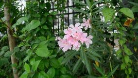 Nerium oleander kwitnie w parku zbiory wideo
