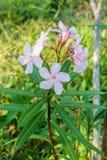 Nerium oleander L. Pink Blossom Sweet oleander, Rose bay flower with leave. (Nerium oleander L Royalty Free Stock Image