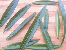 Nerium oleander leaves background Royalty Free Stock Images