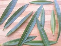 Nerium oleander leaves background Royalty Free Stock Images