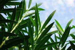 Nerium oleander leaves. Nerium oleander leave in nature garden Royalty Free Stock Images