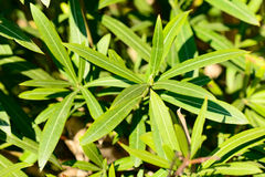 Nerium oleander leaves Stock Image