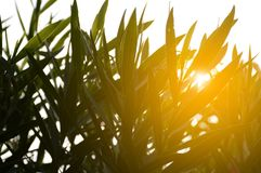 Nerium oleander leaves and sunlight. Beautiful Nerium oleander leaves and sunlight Royalty Free Stock Photography