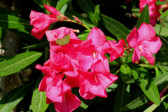 Nerium oleander, Oleander Royalty Free Stock Photo