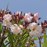 Nerium oleander, Oleander tree Stock Images