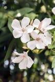 Nerium oleander Stock Photography