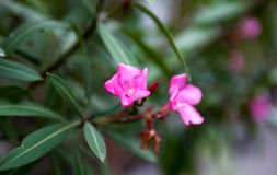 Nerium oleander pink flowers and buds Stock Image