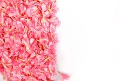 Nerium oleander- pink flowers. Indian Nerium oleander- pink flowers Stock Images
