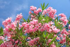 Bush with pink flowers oleander close-up royalty free stock photography